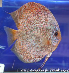 Aquarama 2011 Discus red spotted snakeskin Grand champion