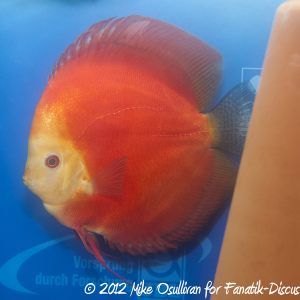 Discus red Dortmund 2012