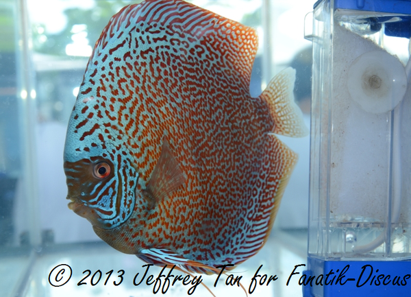 Discus red spotted 2nd Singapour 2012