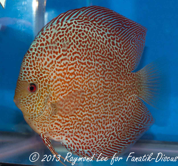 Discus red spotted snakeskin 2nd Singapour 2012