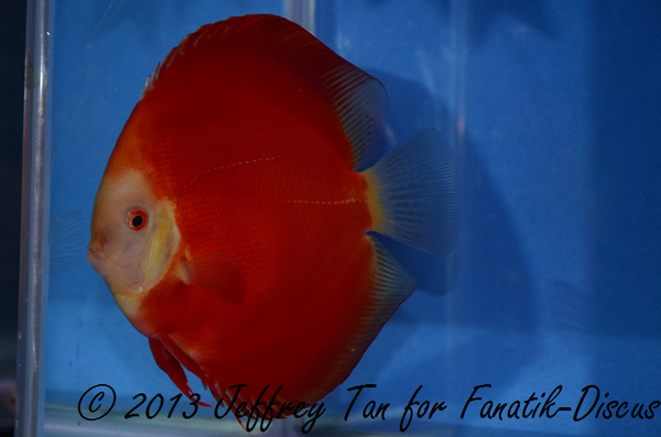 Discus solid red 12nd Singapour 2012