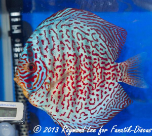 Aquarama 2013 Class 4 Discus red spotted 03_1