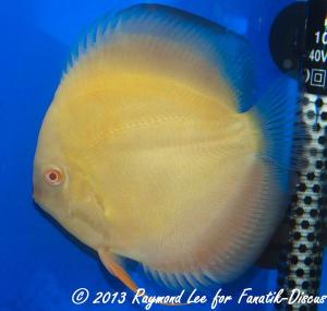 Aquarama 2013 Class 7 Discus solid albino 03_1