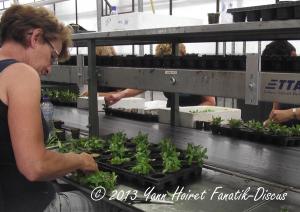 Bouturage de plantes d'aquarium (1)