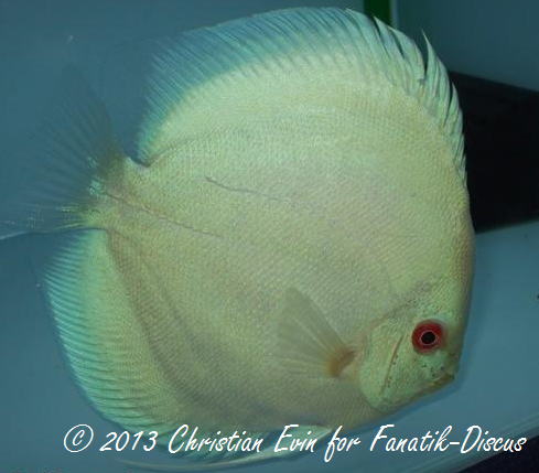 Blue diamond France Discus Show 2010