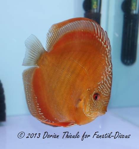 Discus Solid brown snakeskin france discus show Arvert 2011