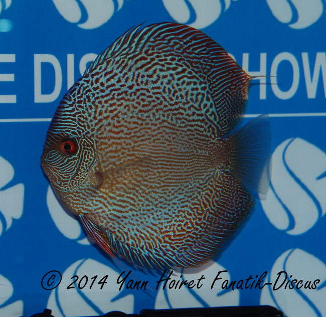 Discus 1st CAT Open grand champion France discus show 2014