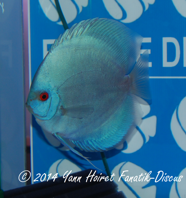 Discus 1 CAT Solid blue France discus show 2014