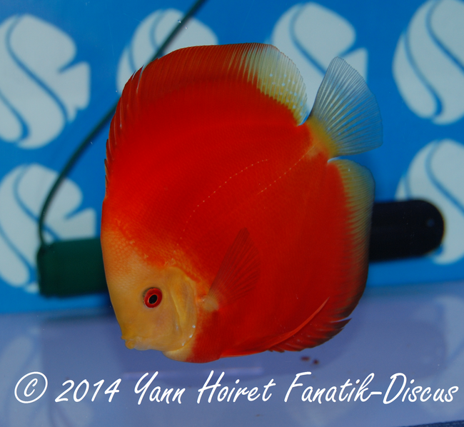 Discus 1st CAT Solid red France discus show 2014