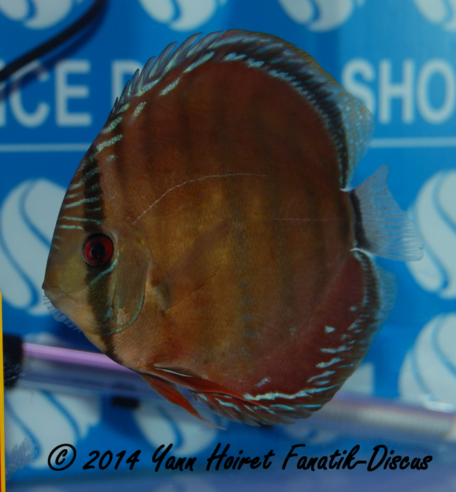 Discus 1st CAT brun/sauvages France discus show 2014