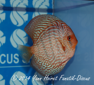 Discus 11th CAT Striped turquoise France discus show 2014