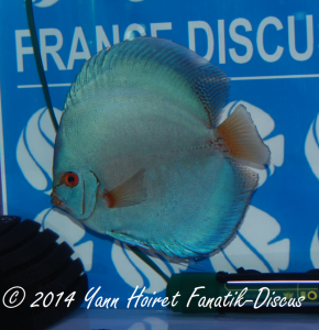 Discus 2nd CAT Solid Blue France discus show 2014