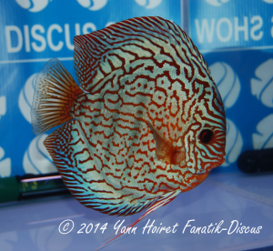 Discus 2nd CAT Striped turquoise France discus show 2014