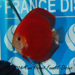 Discus 3th CAT Solid red France discus show 2014