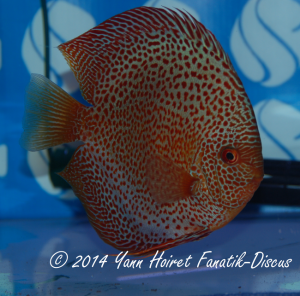 Discus 3th CAT Spotted France discus show 2014