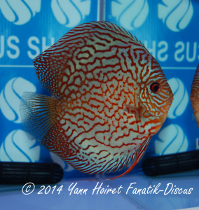 Discus 3th CAT Striped turquoise France discus show 2014
