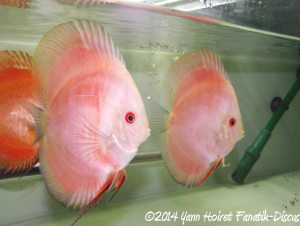 Discus Red melon Color Booster Dennerle Yann Hoiret JOUR 1