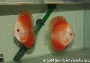 Discus Red melon Color Booster Dennerle Yann Hoiret JOUR 15