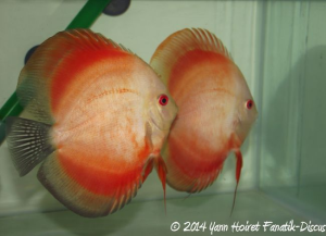 Discus Red melon Color Booster Dennerle Yann Hoiret JOUR 5