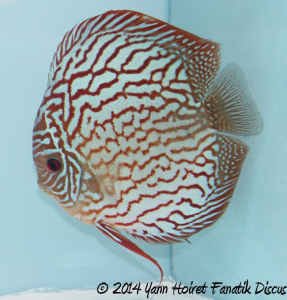 Discus Turquoise pattern coarse 3rd Greek Discus Show 2014