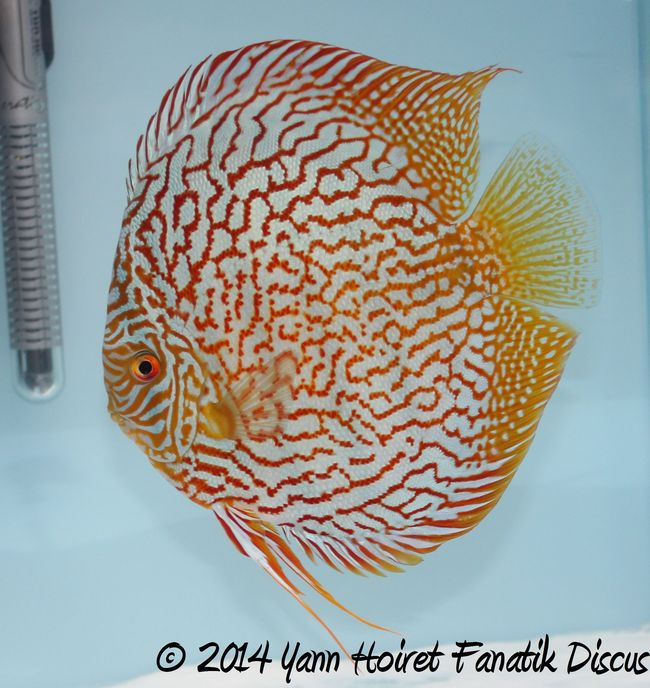 Discus Champion Turquoise pattern coarse GRAND CHAMPION Greek Discus Show 2014