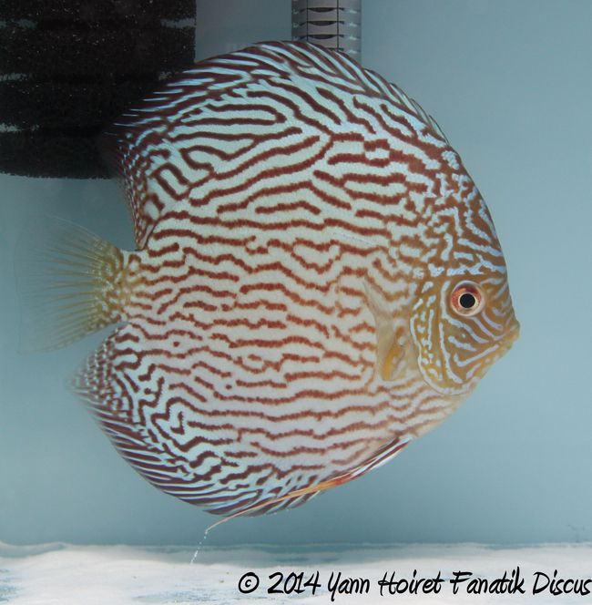 Discus Turquoise pattern striped 1st Greek Discus Show 2014