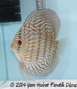 Discus Turquoise pattern striped 3rd Greek Discus Show 2014