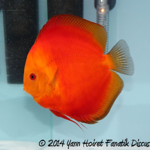 Discus red melon Greek Discus show 2014