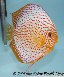 Discus red spotted 3rd Greek Discus Show 2014