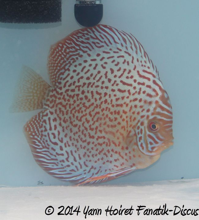 Discus red spotted Amateur Greek Discus Show 2014