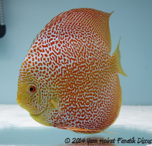 Discus red spotted snakeskin 1st Greek Discus Show 2014 1_1