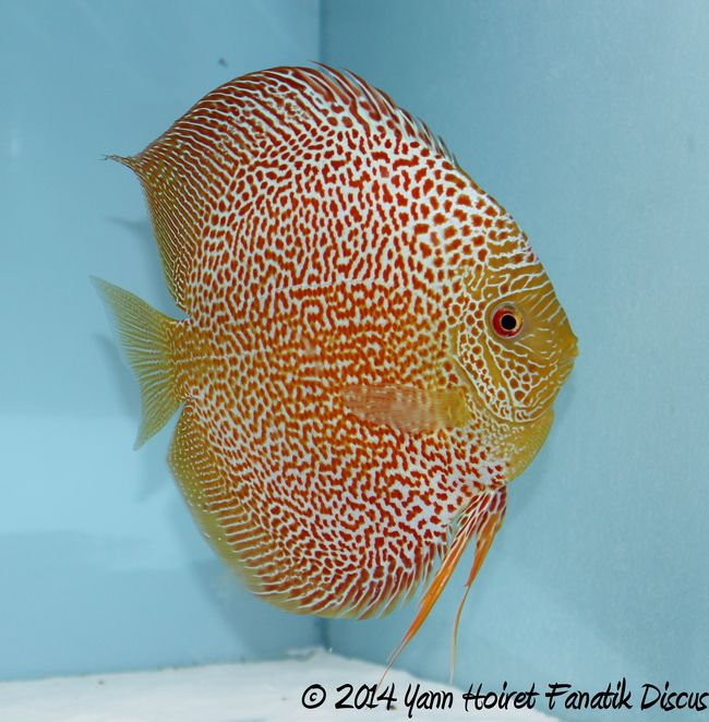 Discus red spotted snakeskin 1st Greek Discus Show 2014 2_1