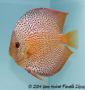 Discus red spotted snakeskin 2nd Greek Discus Show 2014