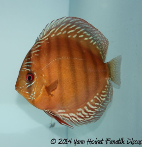 Discus sauvage 2nd Greek Discus Show 2014_1