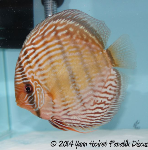 Discus sauvage 3rd Greek Discus Show 2014_1