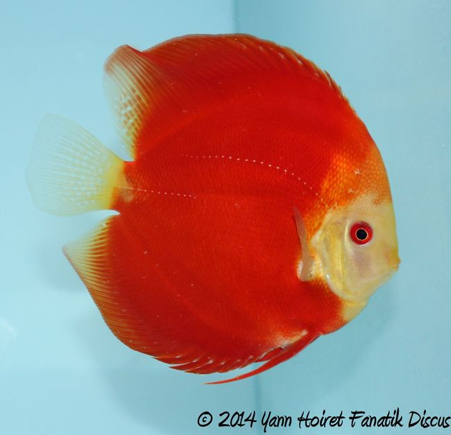 Discus solid red 1st Greek Discus Show 2014