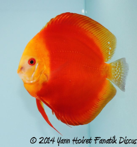 Discus solid red 2nd Greek Discus Show 2014