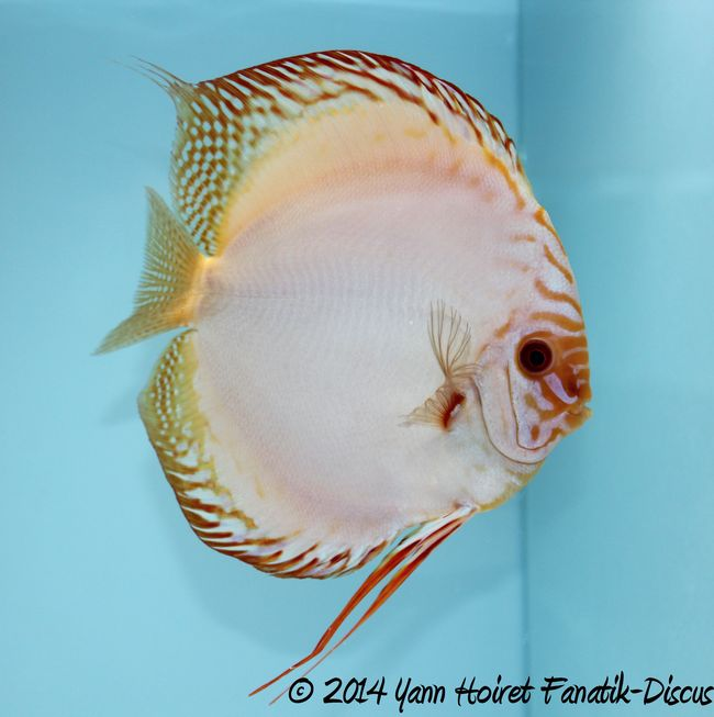 Discus white butterfly OPEN Greek Discus Show 2014