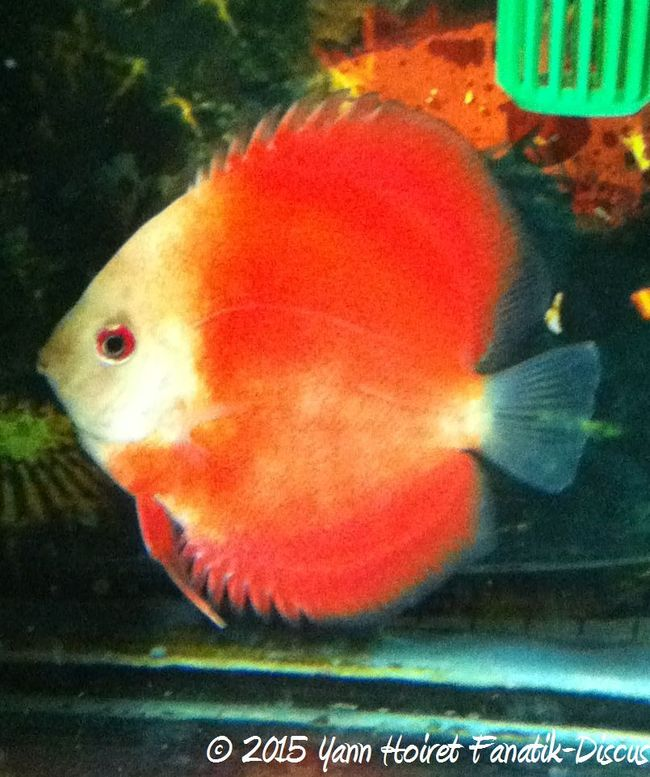 Reproduction de discus Red Golden Diamond